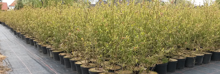 Heidelbeer-Jungpflanzen