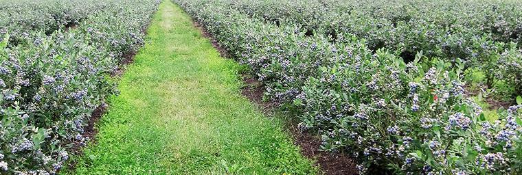 Heidelbeer Produktion - 2 Bewässerung